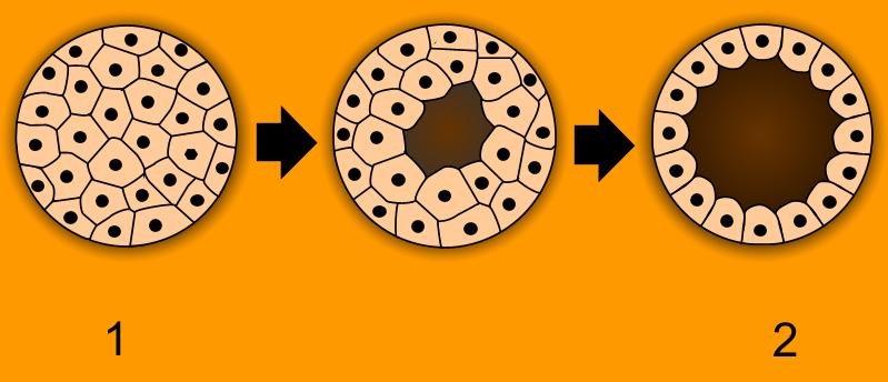Vznik blastuly z moruly. Kredit: Volné dílo)