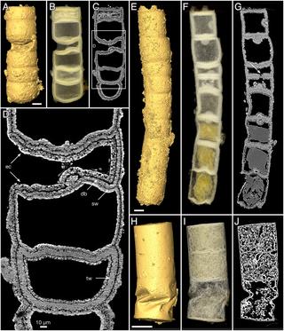 Miliardám let navzdory jsou na Rafanasii dobře patrné detaily, včetně přepážek na jejím vláknitém těle.  Kredit: Stefan Bengtson et al. 2017)