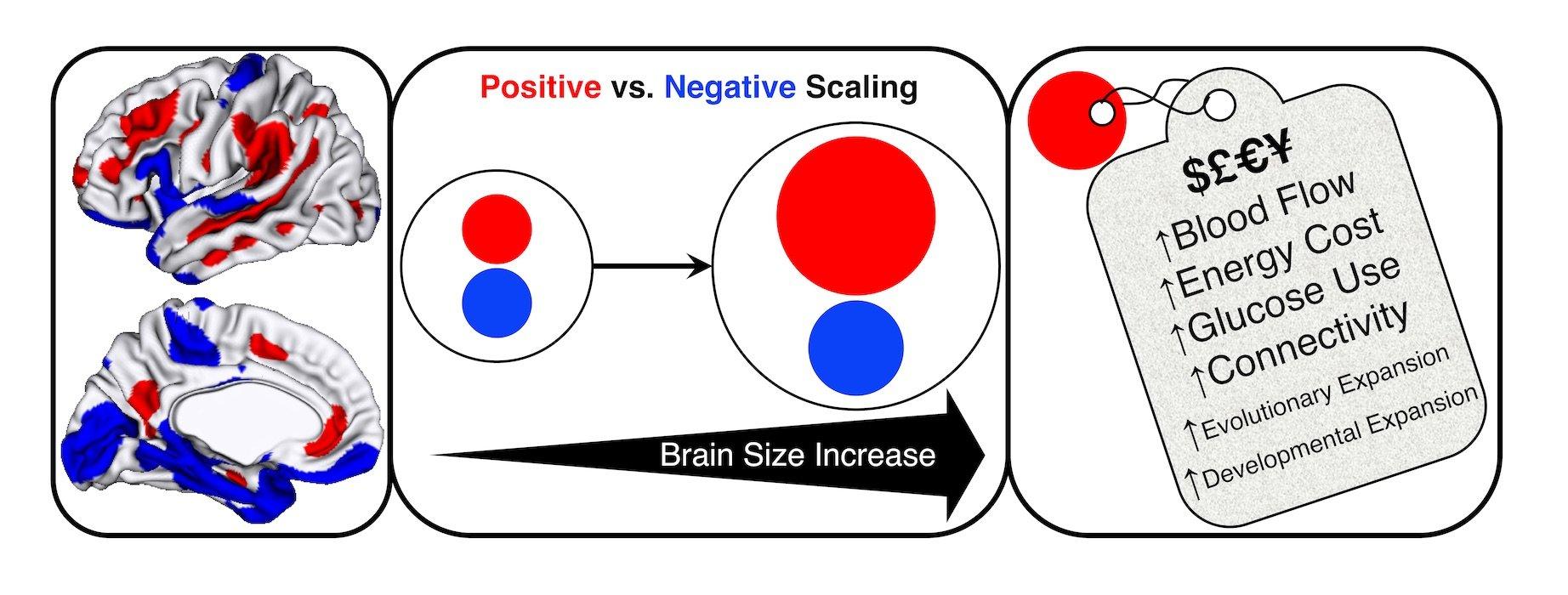 Větší lidské mozky vykazují prokazatelně větší nárůst v oblastech mozkové kůry, v nichž se integrují a vyhodnocují informace z různých mozkových center (červená barva). K relativně menšímu nárůstu pak dochází ve  vývojově starších oblastech nižšího ř