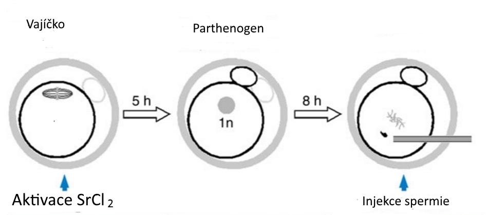 """Místo oplození se provede aktivace chloridem strontnatým. Vzniká partenogenetické embryo (s polovičním počtem chromozomů a neschopné normálního vývoje). Injekce spermie do haploidního """"mrzáčka"""" zvládá situaci """"napravit"""". Ale"""