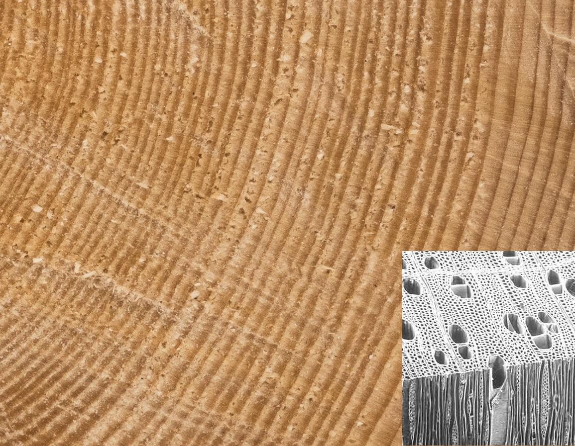 Pórovitá struktura dřeva
