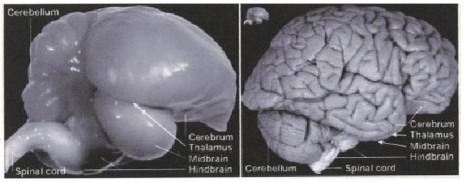 Zvětšený mozek zebřičky a zmenšený lidský mozek.  Kredit: Jarvis et al.: Avian brains and a new understanding of vertebrate brain evolution. Nature Reviews Neuroscience 6:151-159, 2005).