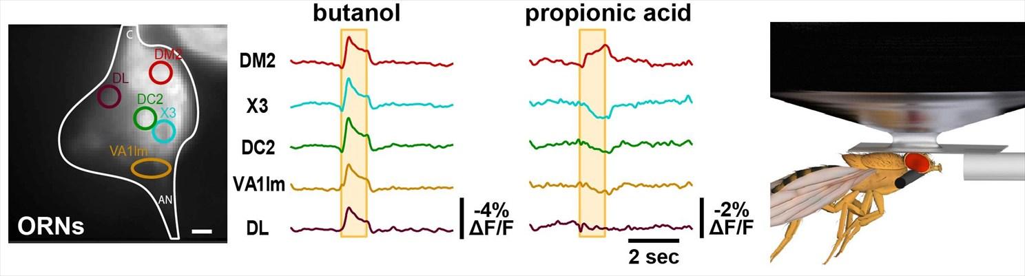 Chování mušek řídí neurální obvody na základě impulsů, které dostávají od receptorů reagujících na přítomnost některých látek v prostředí. U mnohých těchto reakcí se již podařilo nejen odhalit geny, bez jejichž přispění by receptory nebyly schopny lá