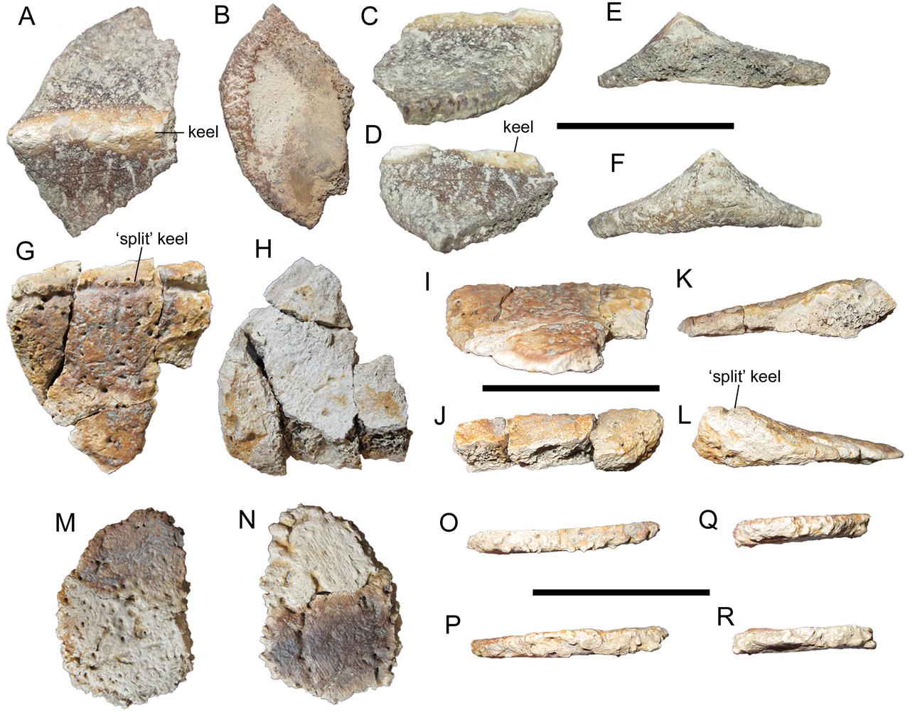 Osteodermy (zkostnatělé kožní destičky) představující pancíř nodosaurida druhu Invictarx zephyri. Právě pro tyto obrněné dinosaury představoval největší nebezpečí tyranosaurid Dynamoterror dynastes, žijící ve stejných ekosystémech. Kredit: Andrew T.