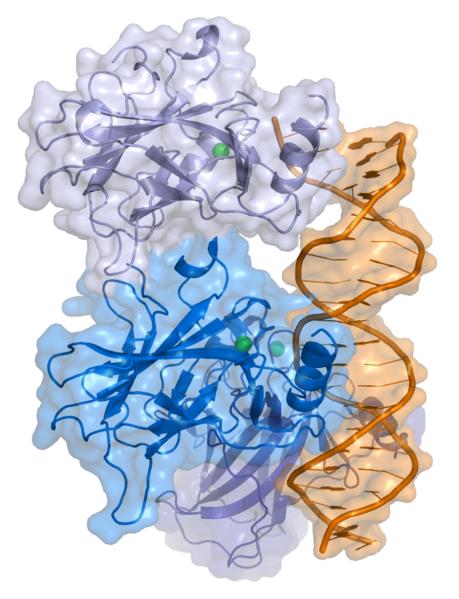 Protein p53 navázaný na vlákně DNA. Kredit: Thomas Splettstoesser / Wikimedia Commons.