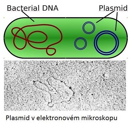 """Bakteriální buňka má chromozom a kromě něj část své DNA ještě ve formě plazmidů. Plazmidy (pro dbajících tradice ctít název objevitele: """"plasmidy), jsou kratičké kruhové molekuly DNA schopné nést informaci pro tvorbu enzymů štěpících antibiotika. Jed"""
