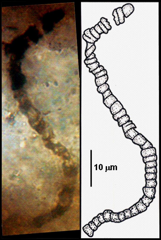 """Po zvětšení lze ve vzorcích z Apex Chert spatřit takovéto mikroskopické útvary. Podle Američanů to jsou mikrofosilie mikroorganismů. To z nich zároveň dělá i nejstarší """"hmatatelné"""" fosilie, jaké kdy byly nalezeny. Kredit: J. William Schopf, UCLA"""