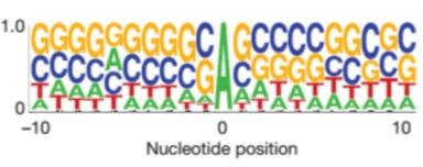 Metylovaný adenin se vyskytuje v oblastech bohatých na GC sekvence. Místech ježribozomrozeznává jako počátekgenua začíná zdesyntézu proteinu.(Kredit: Guan-Zheng Luo, 2016)