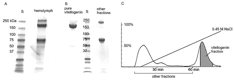 """Jeden z kroků, který vedl k odhalení funkce vitellogeninu (proteinu vaječného žloutku) bylo jeho zjištění ve včelí """"krvi"""" (hemolymfvě)."""