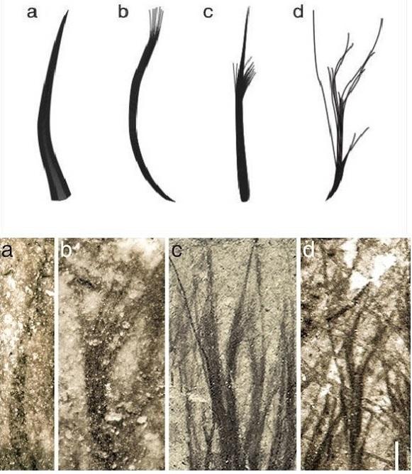 """Čtyři typy pterosauřího peří:  Duté vláknité,  s roztřepeným koncem """"štětečkovité"""",  """"kartáčkové"""", odspodu rozvětvené. Snímky dole byly  pořízeny mikroskopem. Kredit: Zixiao Yang, Nanjing University."""