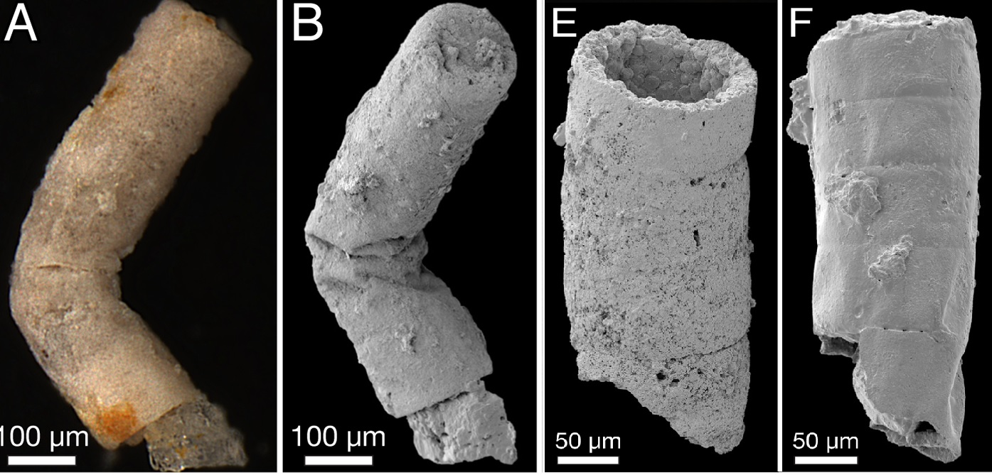 Tak vypadá v elektronovém mikroskopu bangii podobná indická pra-řasa, které se dostalo názvu Rafatazmia. Pojmenována byla podle indického paleontologa Rafat Azmi, jehož paleontologické nálezy byly dlouho neprávem znevažovány.  (Kredit: Sallstedt et a