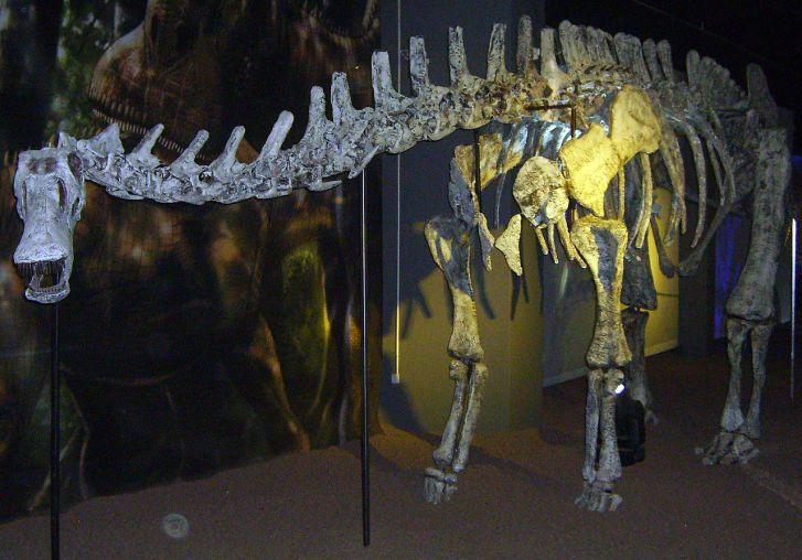 """Rekonstruovaná kostra argentinského rebbachisaurida druhu Limaysaurus tessonei. Právě na základě anatomie tohoto sauropoda provedl Carpenter rekonstrukci kostry maraapunisaura. Argentinský druh však při délce kolem 15 metrů vážil """"pouhých"""" asi 7 tun,"""