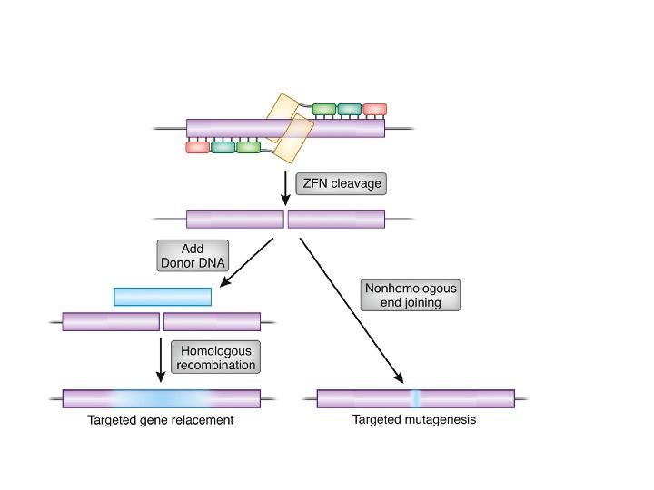 Editace DNA dvěma zinkovými prsty. Kredit: Dana Carroll / Wikimedia Commons.