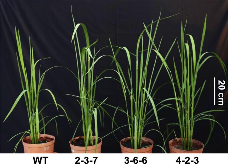 """Zcela vlevo neupravená rýže  Oriza sativa L.cv. Zhonghua11. Vpravo jsou její GOC """"mutanti"""". I zde je patrné, že jim modifikace na radostech života neubrala. Jsou zelenější, jejich listy širší a více oddenků dělají rostliny """"košatější"""". Kredit: Bo-Ran"""