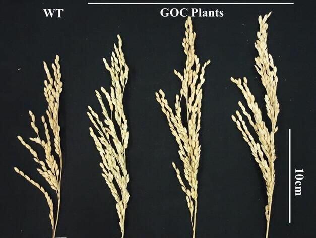Zcela vlevo je klas rýže Oriza sativa L.cv. Zhonghua11, která se vyznačuje nízkým vzrůstem a krátkými obilkami. Je rostlinou snášející suché podnebí východní Asie a je základem nespočtu vyšlechtěných radiačních mutantů. Tři další klasy náleží GOC var