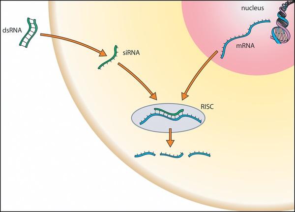 RNA interference.
