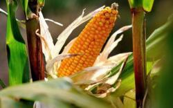 Devatenáct z 28 členských států EU požaduje, aby geneticky modifikované plodiny na celém území, nebo jeho části, byly mimo zákon.