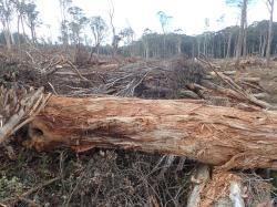 Ukázka ekologicky šetrné těžby ve Victorian forests ( Australie) s ponecháním vzrostlých stromů pro obnovu pralesa. Smutné na tom je, že většina z vytěženého dřeva zakrátko končí na skládkách a s uchováním uhlíku to nemá nic společného. Kredit GECO.