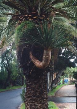 Dracaena draco ako epifyt na datľovníku, Tenerife, 3.12.2001