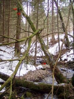 Sladiče na zlomenom javore - celkový pohľad, 2.3.2013