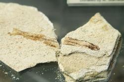 Drobná fosilie ryby z ostrova Mélu (novořecky: z Milosu) Kredit: Wikimedia Commons.