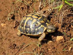 Želva zelenavá, prý se potká i v jižní Itálii (ale nevyznám se v tom, přinejmenším podobné potkávám v Řecku). Kredit: Wikimedia Commons.