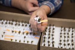 Seth Davis s částí své sbírky čmeláků (náležejících rovněž do čeledi včelovití) a samotářských včel. Kredit: Karina Puikkonen / Colorado State University