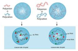 Ilustrace znázorňující rozdíl ve stabilitě dvouvláknové RNA ve struktuře vytvořené z krátkých polymerů (vlevo) a delších polymerů (vpravo).Kredit: Fatma Pir Cakmak, Penn State.