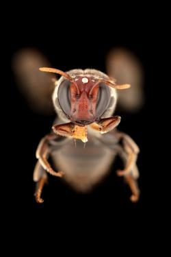 Pohled do tváře australské včely Meroglossa gemmata. Na snímku je vidět, že za tmy si byla schopna sehnat něco na zub, a že z úspory času to zpracovává během letu na další květ. Kredit: James Dorey, Flinders University.