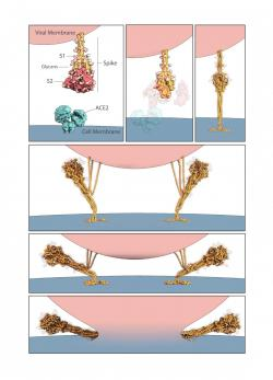 Umělecké ztvárnění toho, jak SARS-CoV-2 fúzuje svou membránu s membránou hostitelské buňky. Kredit:  Molecular Maya Jonathan Khao, PhD a Gaël McGill, PhD, Digizyme Inc.