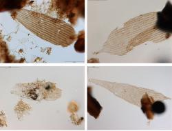 Tak vypadají nejstarší křídla primitivních můr (zvětšeno 630x).Vyskytují se spolu s fosilními pylovými zrny a zbytkyrostlin. Ale jen rostlin nahosemenných. Kredit: Bas van de Schootbrugge, Utrecht University.