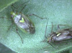 Antiafrodisiakum (myristyl acetát) utkvělý v samičce z předchozího páření zafungoval a sameček obratem stahuje tykadla a s odporem se odvrací. Nějakou dobu (dny) samičce zabere, než se jí podaří partnerovy seminální sloučeniny přetvořit na anti-antiafrodisiakum a záměr partnera knokautovat. Pak její vůně zase začne na samečky zabírat a stane se pro ostatní žádoucí. Kredit: Brent et al., 2017