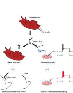 Schéma pokusu v němž vzpomínky byly přeneseny mezi organismy pomocí extrahované ribonukleové kyseliny (RNA) z vyškoleného  na netrénovaného jedince injekcí. Kredit: Bédécarrats a kol.,ENeuro(2018)