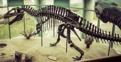 Rekonstruovaná kostra akrokantosaura, vystavená v expozici North Carolina Museum of Natural Sciences. Tento exemplář, označený jako NCSM 14345, je v současnosti největším známým jedincem tohoto druhu. Při délce 11,5 metru vážil tento teropod zaživa nejspíš přes 6 tun, vyrovnal se tedy hmotností dospělému samci slona afrického. Kredit: S. Galyonkin, Wikipedie (CC BY-SA 2.0)