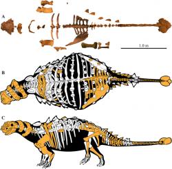 Dochované části kostry a rekonstrukce skeletu ankylosaurida druhu Akainacephalus johnsoni. Tento býložravý obrněný tyreofor patřil k menším druhům, dorůstajícím délky jen lehce přes 3 metry. Kredit: Jelle P. Wiersma, Randall B. Irmis; Wikipedie (CC BY 4.0)