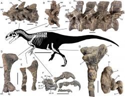 Jedním ze zajímavých nově popsaných druhů je i argentinský alosauroidní teropod druhu Asfaltovenator vialidadi. Lebka tohoto dravého dinosaura měřila na délku asi 80 centimetrů a celková délka těla mohla dosahovat 7 až 8 metrů. Jedná se tedy zároveň o jednoho z největších vloni popsaných dravých dinosaurů. Asfaltovenator žil v období střední jury (asi před 170 miliony let) na území současné argentinské provincie Chubut. Kredit: Oliver W. M. Rauhut & Diego Pol; Wikipedie (CC BY 4.0)