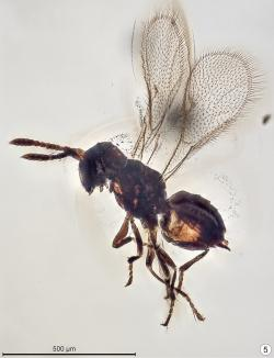 Baeomorpha liorum, parazitická chalcidka z barmského jantaru. Při pohledu na tento exkluzivně dochovaný exemplář blanokřídlého hmyzu se téměř nechce věřit, že žil už před dávnými 99 miliony let. Kredit: John T. Huber, Chungkun Shih, Ren Dong; Wikipedia (CC0)