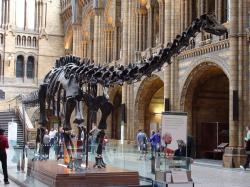 """""""Dippy"""", jeden z nejslavnějších exemplářů dinosauří kostry na světě. Tato replika byla umístěna v budově Britského přírodovědného muzea v Londýně dne 12. května 1905 a stala se jednou z jejích ikon. Kostra měří na délku 21,3 metru a je složena z 292 částí. Působivou repliku kostry amerického druhu D. carnegii věnoval tomuto i mnoha jiným muzeím průmyslník Andrew Carnegie. Kredit: Drow male; Wikipedie (CC BY-SA 4.0)"""