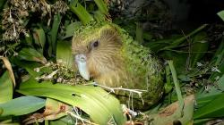 Papoušek soví, čili kakapo, Nový Zéland Kredit: Department of Conservation / Wikimedia Commons