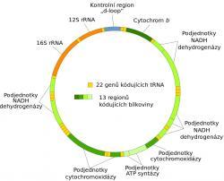 Mitochondriální DNA člověka s vyznačenými geny (Kredit: Wikipedie, upravil Vojtěch Dostál)