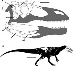 Zobrazení dochovaných fosilií lebky a celého těla megaraptor(id)a druhu Murusraptor barrosaensis, formálně popsaného v roce 2016. Žil stejně jako Megaraptor na území dnešní argentinské Patagonie, pouze o zhruba 2 miliony let dříve, před asi 93 až 89 miliony let. Objevený exemplář měřil na délku přibližně 6,4 metru, jednalo se však ještě o nedospělého a tedy plně nedorostlého jedince. Kredit: Rodolfo A. Coria, Philip J. Currie, Wikipedie (CC BY 4.0)