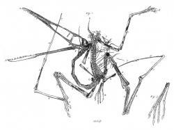 Původní rytina holotypu pterodaktyla, publikovaná Cosimou A. Collinim v roce 1784. Není divu, že si s fosilií v této době ještě nikdo nevěděl rady. Pojem ptakoještěr tehdy dosud neexistoval a aktivně létající prehistorické plazy si nejspíš dokázal představit jen málokdo. Kredit: Cosimo A. Collini – Wellnhofer, P.; 2009: A short history of pterosaur research, Zitteliana 29, str 7-19.; Wikipedie (volné dílo)