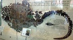 """Fosilie hřbetního pancíře sauropelty, vystavená v Americkém přírodovědeckém muzeu v New Yorku. Některé osteodermy zřejmě sloužily indiánským obyvatelům Montany a Wyomingu jako improvizované přírodní """"pražící pánvičky"""". Kredit: Ryan Somma, Wikipedie (CC BY-SA 2.0)"""
