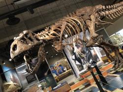 """Pohled na repliku kostry """"Scottyho"""" v instituci T.rex Discovery Center z jiného úhlu. Ať se ale podíváte jakkoliv, nepochybně vás ohromí svou mohutností a celkovými rozměry. Samotná stehenní kost tohoto tyranosaura je dlouhá 133 cm a váží kolem 90 kilogramů. Scotty žil v období nejsvrchnější křídy (geologický stupeň maastricht), asi před 68 až 66 miliony let a dožil se věku kolem 30 let. Dosud není jisté, zda šlo o samce nebo samici. Kredit: Muhsatteb; Wikipedie (CC BY-SA 4.0)"""