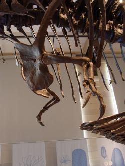 Přední končetiny tyranosaura byly nepochybně malé a disproporční. Přesto své občasné využití mít mohly, i když spíše náhodné a nepravidelné. Bohužel však není pravděpodobné, že se někdy s jistotou dozvíme, k jakému účelu byly tyranosaurem přednostně využívány. Kredit: Eduard Solá; Wikipedie (CC BY 3.0)