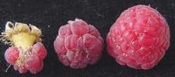 Ukázka významu hmyzích opylovačů pro výnosy ostružiníku maliníku. Vlevo a uprostřed je plod vzniklý samoopylením. Vpravo je plod vzniklý opylením hmyzem.