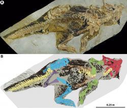 Fantasticky dochovaná fosilie zatím s jistotou neurčeného druhu rodu Psittacosaurus, žijícího v období rané křídy na území dnešní severovýchodní Číny. Jedná se nepochybně o jednu z nejlépe dochovaných zkamenělin ptakopánvých dinosaurů vůbec. Oblast kloaky je dobře viditelná jako mírně vystupující obrys za zadní končetinou dinosaura. Kredit: Vinther et al. (2016); Wikipedia (CC BY-SA 4.0)