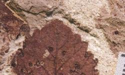 Chodbičky a hálky na listech rostlin svědčí o vysoké biodiverzitě některých skupin hmyzu. V tomto případě jde o fosilní otisk listu z období nejmladší křídy (patagonské souvrství Lefipán), asi před 67 až 66 miliony let. Po katastrofě K-Pg původci těchto struktur zřejmě relativně rychle vymírají. Kredit: Michael Donovan, Penn State University