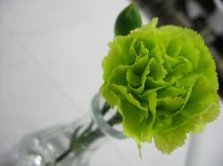Zelený karafiát – symbol bisexuálních žen. Kredit: Rebeca, Wikipedia,CC BY-SA 2.0