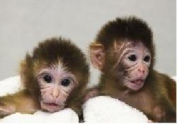 """Mito a Tracker - zdravé opičky narozené po transplantaci mitochondrií. I vědci mají smysl pro humor – opičky se jmenují podle chemikálie běžně používané v laboratoři. """"Mito Tracker"""" je barvička, jež emituje fluorescenční světlo a používá se ke specifickému zviditelnění mitochondrií v buňce. (Oregon National Primate Research)"""